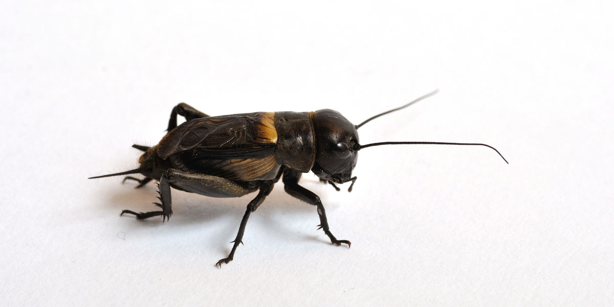 Beyond the yuck factor, insect proteins face hurdles. Cricket on a white background